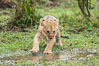 Lion cub, two weeks old, Maasai Mara National Reserve, Kenya. Image #29791