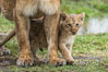 Lionness and two week old cub, Maasai Mara National Reserve, Kenya. Image #29793