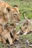 Lionness and two week old cubs, Maasai Mara National Reserve, Kenya. Maasai Mara National Reserve, Kenya. Image #29794