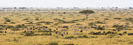 Mixed Herd of Wildebeest and Zebra, aerial photo, Maasai Mara National Reserve, Kenya. Image #29823