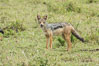 Black-backed jackal, Maasai Mara, Kenya. Maasai Mara National Reserve. Image #29849