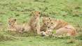 Lionness and cubs, Maasai Mara National Reserve, Kenya. Image #29866