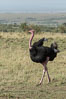 Common ostrich. Maasai Mara National Reserve, Kenya. Image #29900