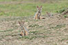 Black-backed jackal pups, Maasai Mara, Kenya. Olare Orok Conservancy. Image #29991