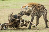 Hyena consuming wildebeest carcass, Kenya, They hyena has strong jaws that allow it to break carcass bones and eat the marrow within. Olare Orok Conservancy. Image #29997
