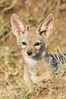 Black-backed jackal pups, Maasai Mara, Kenya. Olare Orok Conservancy. Image #30070