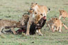 Lionness and cubs with kill, Olare Orok Conservancy, Kenya. Olare Orok Conservancy, Kenya. Image #30098