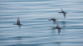 Cormorants in flight, wings blurred by time exposure. La Jolla, California, USA. Image #30163