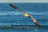 Brown pelican flying over waves and the surf. La Jolla, California, USA. Image #30185