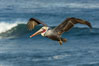 Brown pelican flying over waves and the surf. La Jolla, California, USA. Image #30186