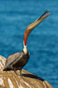 California Brown Pelican head throw, stretching its throat to keep it flexible and healthy. La Jolla, USA