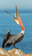 California Brown Pelican head throw, stretching its throat to keep it flexible and healthy. Note the winter mating plumage, olive and red throat, yellow head. La Jolla, USA