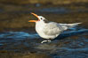 Royal tern, winter adult phase. La Jolla, California, USA. Image #30354