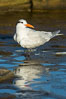 Royal tern, winter adult phase. La Jolla, California, USA. Image #30356