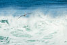 California Brown Pelican flying over a breaking wave. La Jolla, California, USA