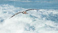 California Brown Pelican flying over sea foam and waves. La Jolla, USA