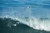 California Brown Pelican flying over a breaking wave. La Jolla, USA