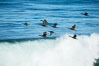 Brandt's cormorants flying over a breaking wave. La Jolla, California, USA
