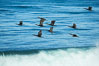 Brandt's cormorants flying over a breaking wave. La Jolla, California, USA. Image #30381