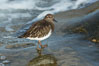 Black Turnstone, La Jolla. California, USA. Image #30390