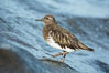 Black Turnstone, La Jolla. California, USA. Image #30395