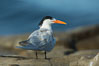 Royal Tern, La Jolla. California, USA. Image #30397