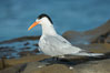 Royal Tern, La Jolla. California, USA. Image #30399