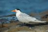 Royal Tern, La Jolla. California, USA. Image #30400