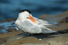 Royal Tern, La Jolla. California, USA