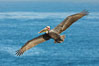 California brown pelican in flight. The wingspan of the brown pelican is over 7 feet wide. The California race of the brown pelican holds endangered species status. In winter months, breeding adults assume a dramatic plumage. La Jolla, California, USA. Image #30410