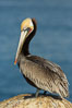 Brown pelican portrait, displaying winter plumage with distinctive yellow head feathers and red gular throat pouch. La Jolla, California, USA. Image #30411