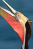 California Brown Pelican head throw, stretching its throat to keep it flexible and healthy. Note the winter mating plumage, olive and red throat, yellow head. La Jolla, California, USA. Image #30413