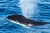 Killer Whale, Biggs Transient Orca, Palos Verdes. California, USA. Image #30422