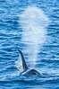 Killer Whale and blow, Biggs Transient Orcas, Palos Verdes. California, USA. Image #30423