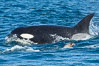 Killer whale attacking sea lion.  Biggs transient orca and California sea lion. Palos Verdes, USA. Image #30427