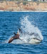 Killer whale attacking sea lion.  Biggs transient orca and California sea lion. Palos Verdes, USA. Image #30429
