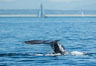 Gray whale raising fluke before diving, on southern migration to calving lagoons in Baja. San Diego, California, USA. Image #30467