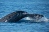Gray whale raising fluke before diving, on southern migration to calving lagoons in Baja. San Diego, California, USA