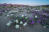 Dune evening primrose (white) and sand verbena (purple) mix in beautiful wildflower bouquets during the spring bloom in Anza-Borrego Desert State Park. Borrego Springs, California, USA. Image #30502