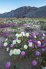 Dune evening primrose (white) and sand verbena (purple) mix in beautiful wildflower bouquets during the spring bloom in Anza-Borrego Desert State Park. Borrego Springs, California, USA. Image #30505