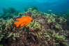 Garibaldi and Asparagopsis taxiformis (red marine algae), San Clemente Island. California, USA. Image #30880