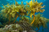 Southern sea palm, palm kelp, underwater, San Clemente Island. California, USA. Image #30917