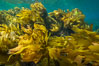 Southern sea palm, palm kelp, underwater, San Clemente Island. California, USA. Image #30919
