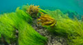 Southern sea palm (yellow) and surf grass (green), shallow water, San Clemente Island. San Clemente Island, California, USA. Image #30942