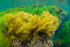 Stephanocystis dioica (yellow) and surfgrass (green), shallow water, San Clemente Island. California, USA. Image #30946