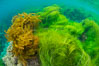 Southern sea palm (yellow) and surf grass (green), shallow water, San Clemente Island. California, USA. Image #30953