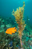 Garibaldi and invasive Sargassum, Catalina. Catalina Island, California, USA. Image #30967