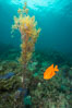 Garibaldi and invasive Sargassum, Catalina. Catalina Island, California, USA. Image #30970