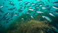 Blacksmith chromis and invasive sargassum, Catalina. Catalina Island, California, USA. Image #30973