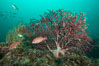 Juvenile sheephead and gorgonian, Catalina. Catalina Island, California, USA. Image #30975